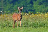 Roe deer in spring