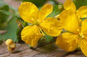 stock photo of celandine  - yellow celandine flowers macro on a wooden table - JPG