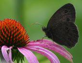 Moth On Cone Flower
