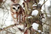 Saw-Whet Owl In Winter