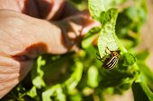 foto of potato bug  - Colorado potato beetle - JPG