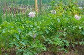 Potato Plants In Flower On Allotment Garden
