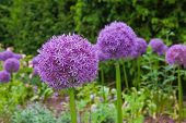 Purple Aliums In Springtime Border