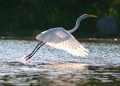 Egret in  Sunlight