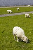 Buesum - Dike With Sheeps