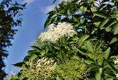 stock photo of elderberry  - Growing medicinal elderberry on blue sky background - JPG
