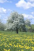 Blooming apple tree in a field of dandelions