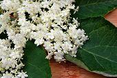 foto of elderberry  - Fresh elderberry flower on a wooden board - JPG