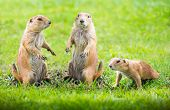 image of prairie  - Group of prairie dog in the meadow - JPG