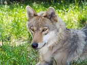 foto of lupus  - European gray wolf  - JPG