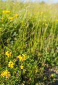 Flowering Birdfoot Deervetch Plant From Close