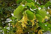 Flowers of linden-tree