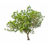 stock photo of northeast  - Neem plant  - JPG