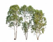 stock photo of eucalyptus trees  - Three Eucalyptus trees tropical tree in the northeast of Thailand isolated on white background - JPG