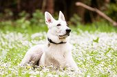 stock photo of swiss shepherd dog  - White Swiss Shepherd on daisy background a - JPG