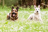 German Shepherd Dog With White Swiss Shepherd