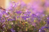 pic of lobelia  - closeup photo of lobelia flowers in sunset shallow depth of field - JPG