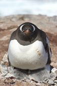 Gentoo Penguin Female A Heating Two Chicks
