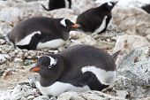 Gentoo Penguins Incubate In A Colony On The Antarctic Islands