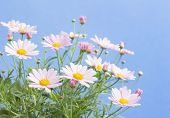 Pale pink daisies with blue sky