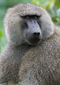 foto of anubis  - Portrait of an Olive Baboon looking around - JPG