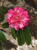 Bloom Of A Pink Rhododendron