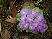 Wild Primula Growing In The Himalayas