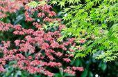 Maple Verdure