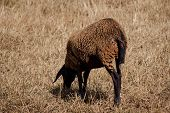 Brown Sheep Grazing On Field