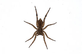 image of white wolf  - This is a macro photograph of a Wolf Spider isolated on white - JPG
