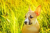 image of american staffordshire terrier  - The puppy of the American Staffordshire terrier sits in a high grass - JPG