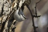 Nuthatch Going To Feed On The Stone Birch Trunk In Forest