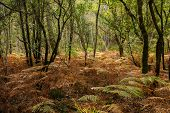 stock photo of temperance  - Oak trees and ferns at fall season in a temperate climate forest - JPG