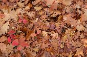 Fallen leaves background in a temperate forest