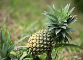 pineapple fruit farm growing nature background