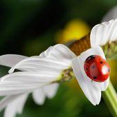 red ladybug on camomile flower petal