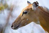 Brown female impala head close up