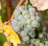 Fine ripe grapes at vine