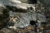 European wildcat (Felis silvestris silvestris) with kittens.