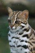 Leopard cat (Prionailurus bengalensis).