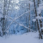 Trees Covered With Snow In Winter Forest. Viitna, Estonia.