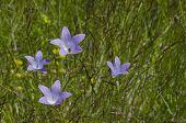 Delicate purple wildflower harebell