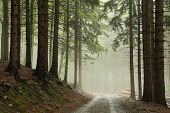 Path through coniferous forest