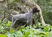 german shorthaired pointer standing in the woods