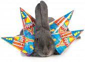 birthday bunny - giant flemish rabbit wearing four birthday hats on white background