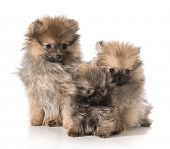 three pomeranian puppies sitting on white background