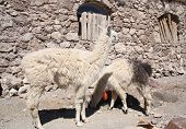 picture of lamas  - Lamas in a village at Isla del Pescado - JPG
