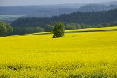 picture of rape-seed  - Rape field in early spring in Saxony Germany - JPG
