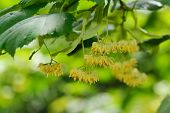 stock photo of linden-tree  - linden tree flowers on branch in summer - JPG