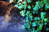 Watercress growing in shallow water.